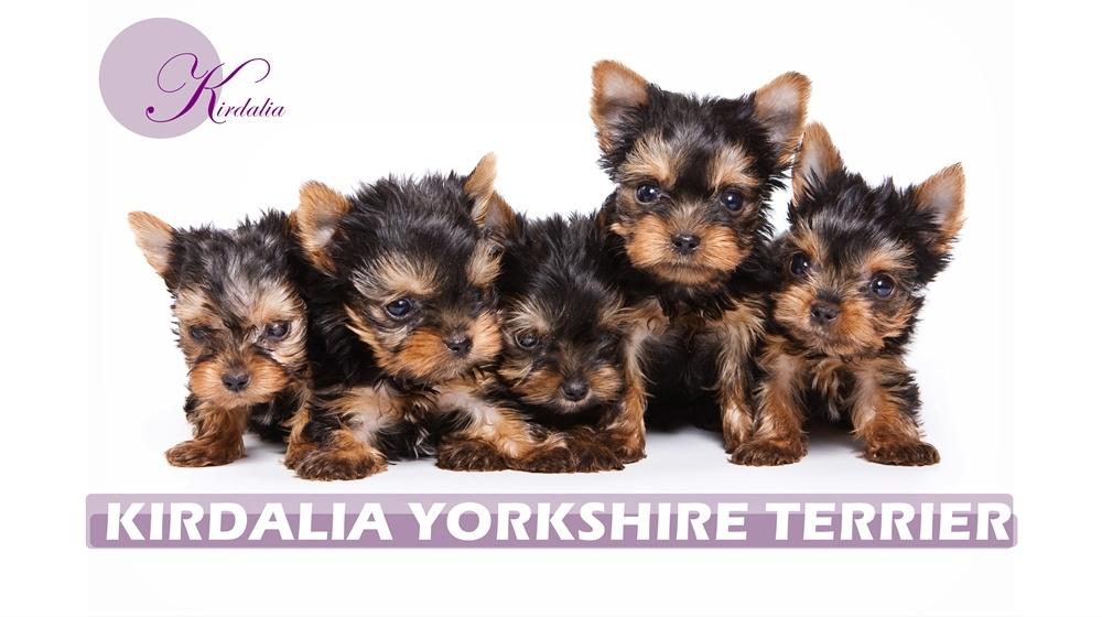 Cachorros Yorkshire Terrier   Criadores Yorkshire Madrid