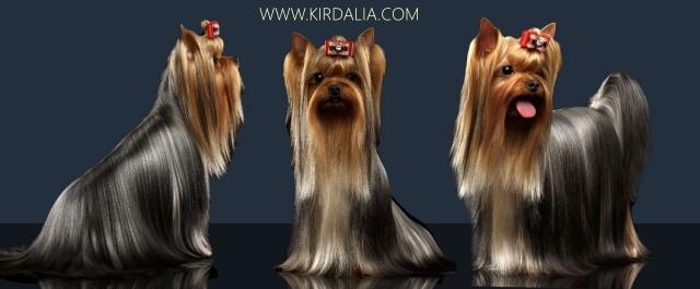 Mis Yorkies.Ejemplares Machos Kirdalia Yorkshire Terrier