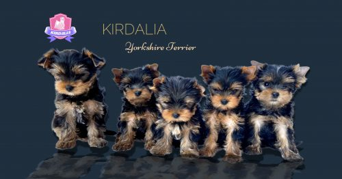 Cachorros adorables Kirdalia Yorkshire Terrier